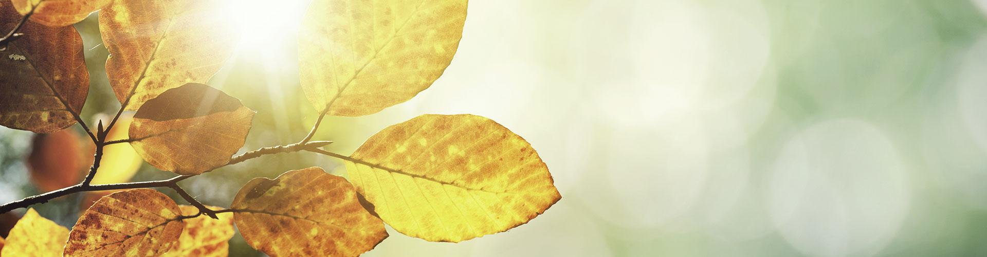 Sonnenstrahlen scheinen durch transparentes Herbstlaub