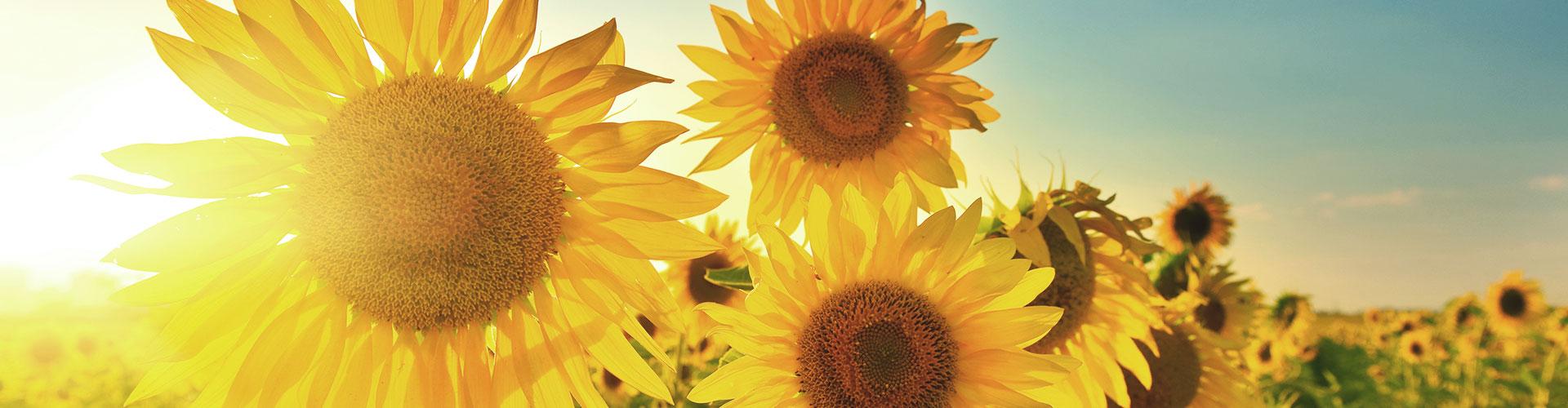 Sonnenblumen, im Hintergrund geht die Sonne unter