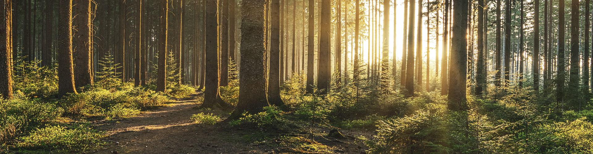 Tiefstehendes Sonnenlicht dringt durch einen Wald