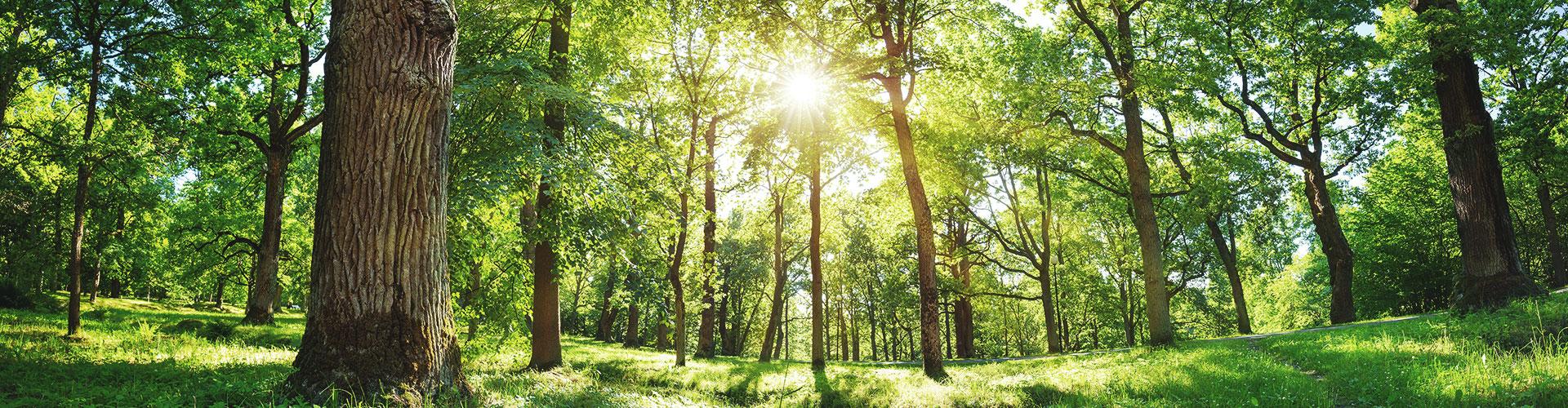 Die tiefstehende Sonne fällt durch das grüne Blattwerk eines Waldes