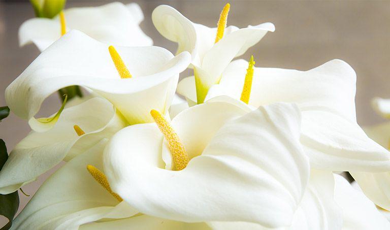 Ein Strauß weißer Calla
